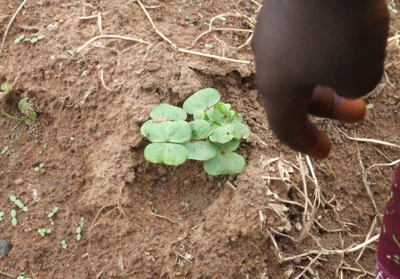 West africa cotton