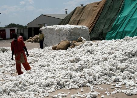 Zambia cotton