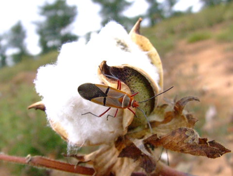 cotton weevil