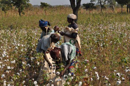 African cotton