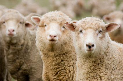Patagonian wool