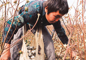 Cotton picking in Uzbekistan