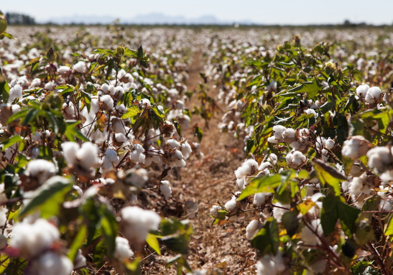 Organic cotton harvest second largest on record | Materials & Production  News | News