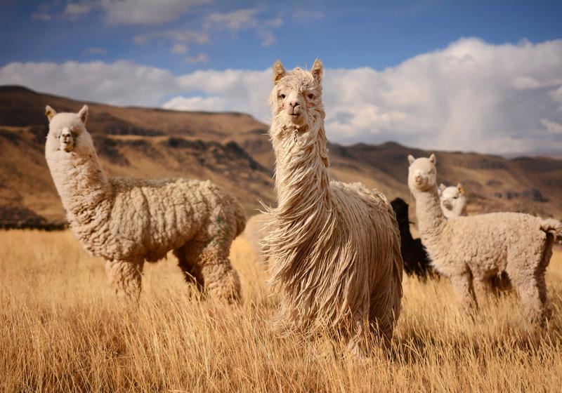 Textile Exchange develops Responsible Alpaca Standard | Materials &  Production News | News